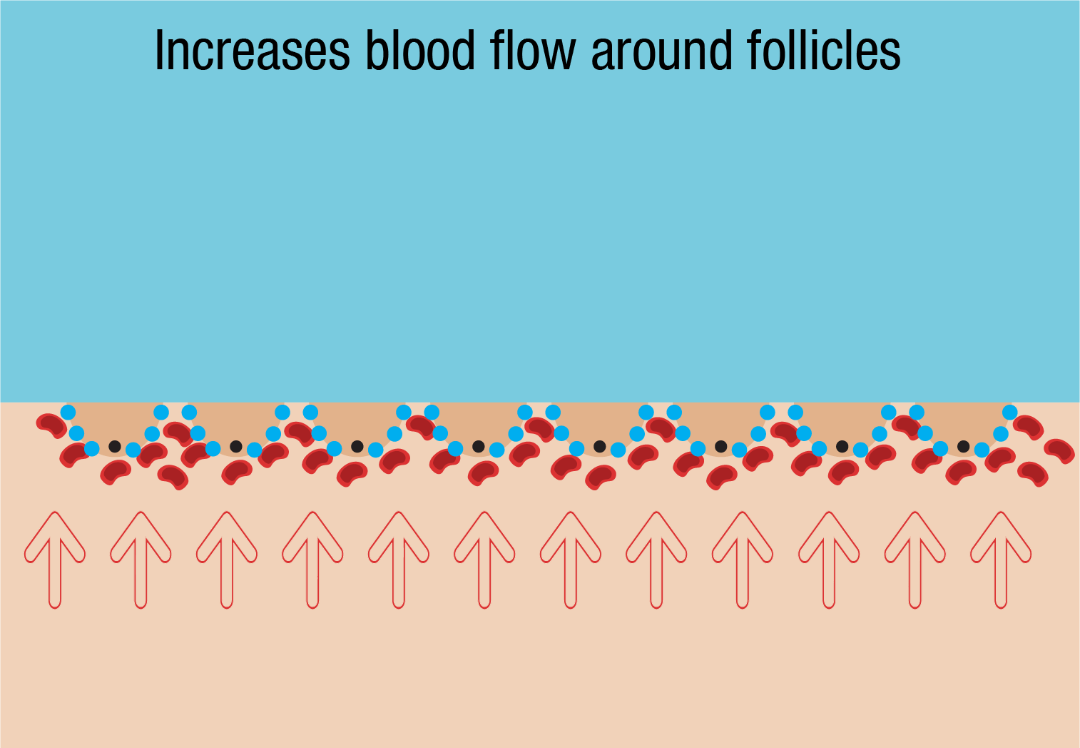 increased blood flow around follicles